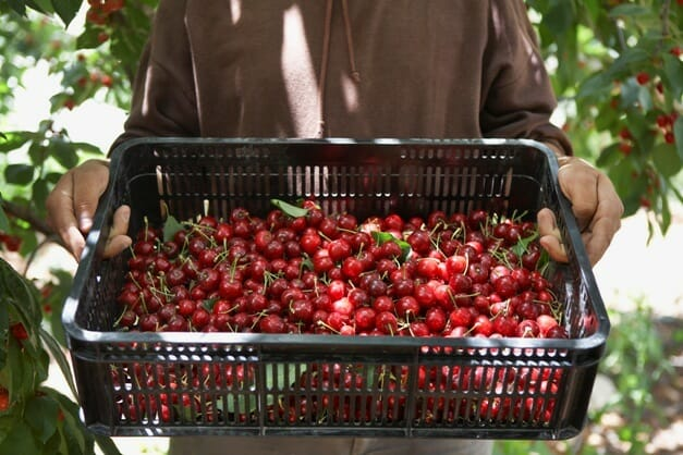 hands holding a basket of cherries